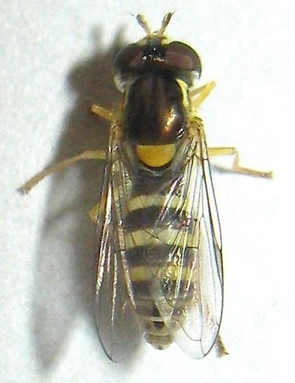Syrphid Fly - Sphaerophoria sulphuripes