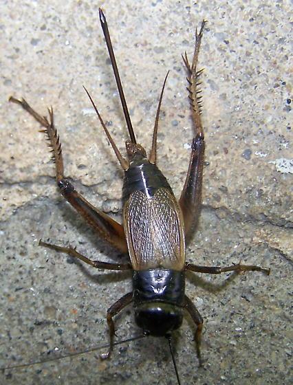 Gryllus pennsylvanicus - female