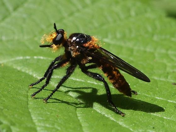 Robberfly on a Thimbleberry leaf - Laphria asackeni