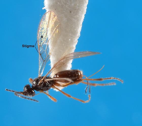 Pentapleura - female