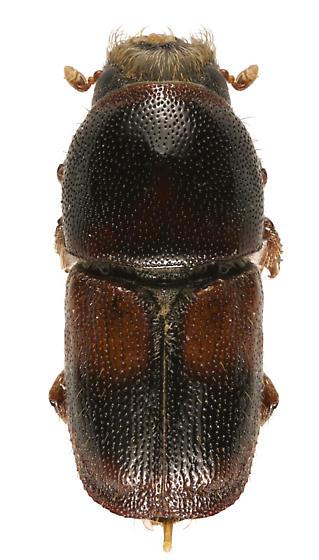 Invasive Scolytid, Banded elm bark beetle - Scolytus schevyrewi