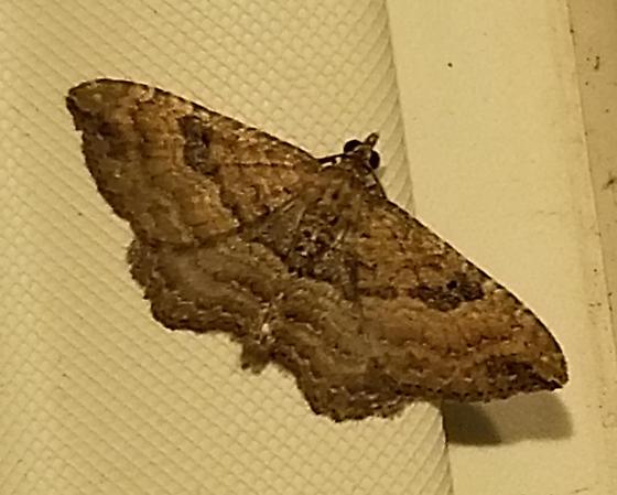 back patio moth - Orthonama obstipata - male