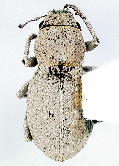 Piscatopus griseus Sleeper - Minyomerus griseus