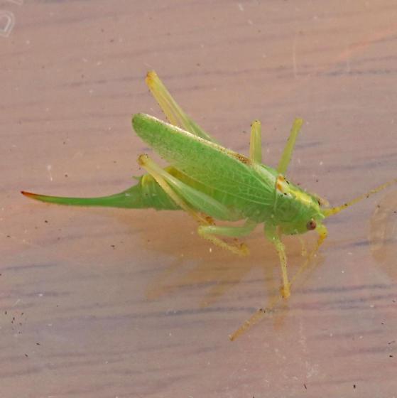 Orthoptera - Meconema thalassinum - female
