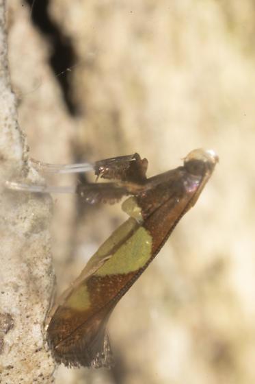 Small moth - Caloptilia bimaculatella