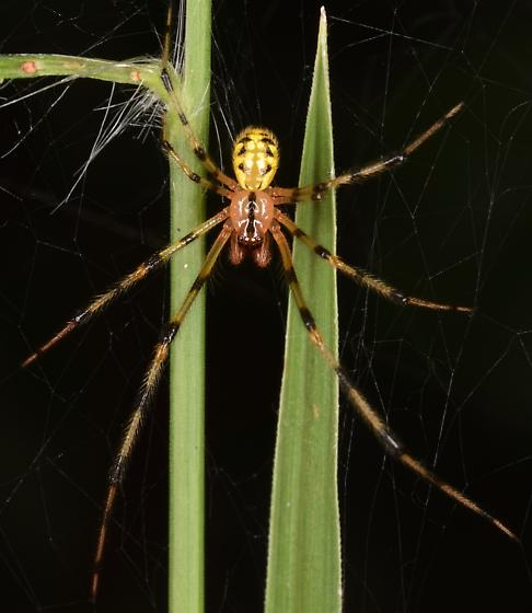 Theridion frondeum? - male