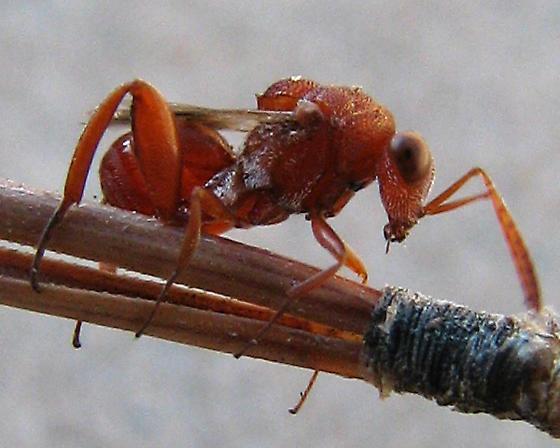 Red chalcid, parasitoid of antlion larvae - Hockeria eriensis - female