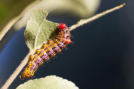 Caterpillars on Apple Tree - Schizura concinna