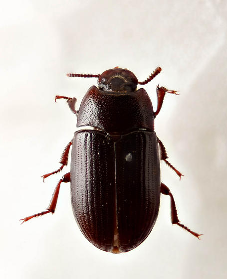 Another Blapstinus? - Alphitobius diaperinus