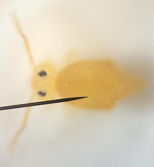 Springtail - Bourletiella arvalis