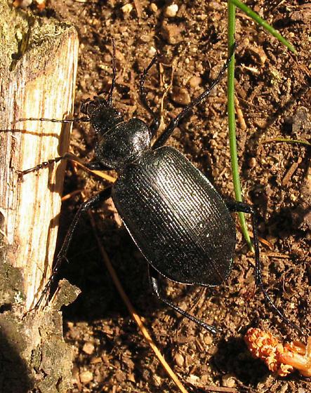 summit carabid - Calosoma frigidum