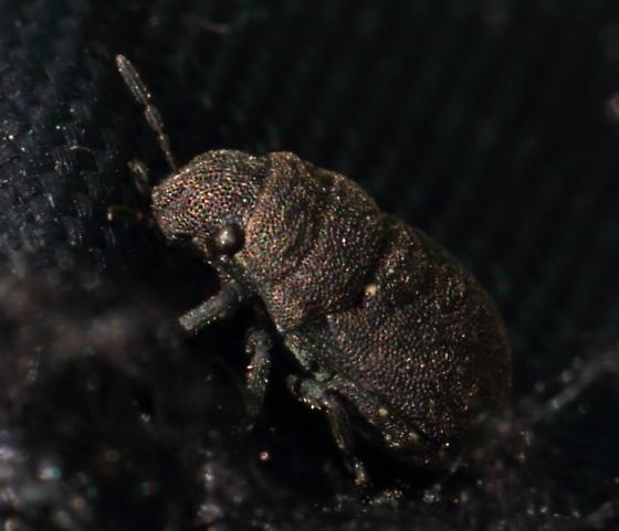 Weevil? - Acantholomidea porosa