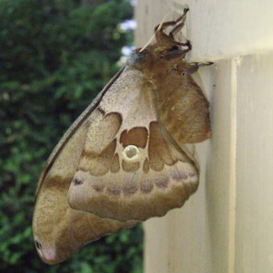 Antheraea polyphemus - female