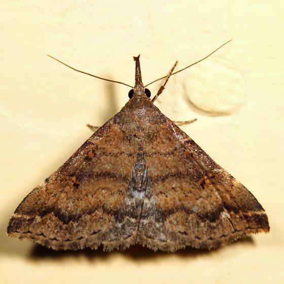 Sociable Renia - Renia factiosalis - female