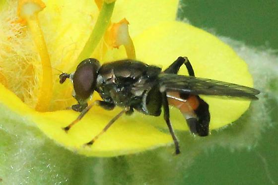 flower fly (Syrphidae) - Chalcosyrphus nemorum
