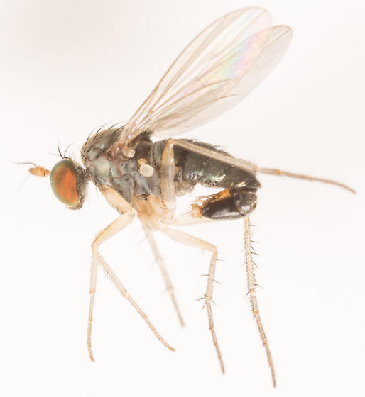 Fly - Gymnopternus - male