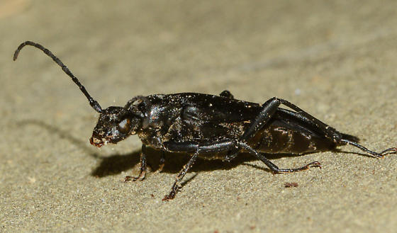 beetle061719-8 - Bellamira scalaris