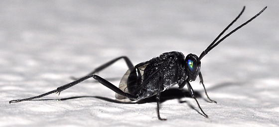 What is this small black fly/wasp? - Evania appendigaster