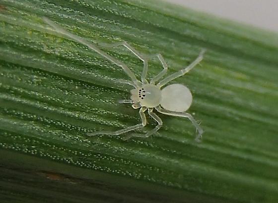 Spintharus flavidus - Wulfila - female