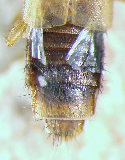 staph 4 - Lithocharis ochracea