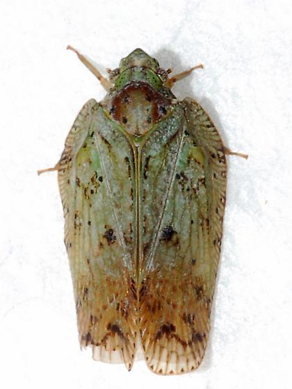 Unknown Cixius sp. - Flatoidinus punctatus