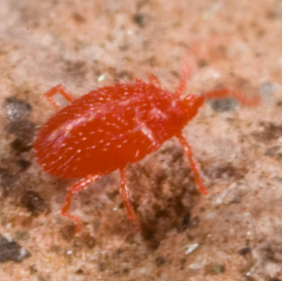 Red Ticks - Balaustium