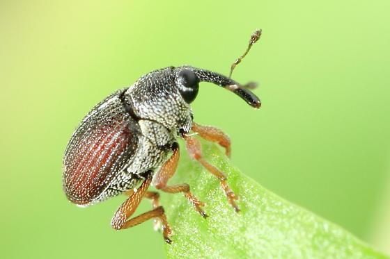 Weevil - Amalus scortillum