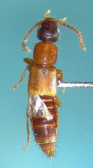 Lithocharis ochracea