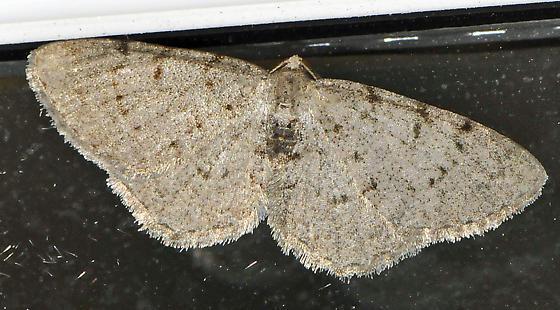 Spanworm Moth? - Aethalura intertexta