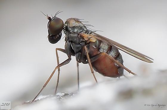 Diptera. Lonchoptera? - Medetera - female