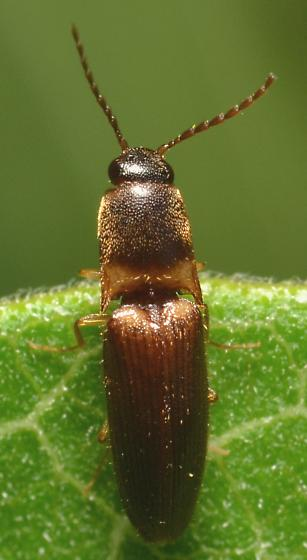 Elateridae - Megapenthes rufilabris