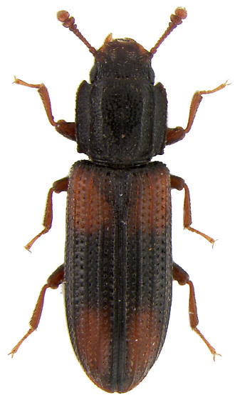 Bitoma crenata (Fabricius, 1775) - Bitoma crenata