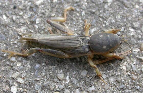 Southern Mole Cricket - Neoscapteriscus borellii - female