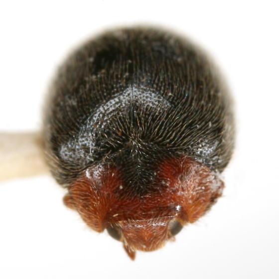 Scymnus paracanus J. Chapin - Scymnus paracanus - female