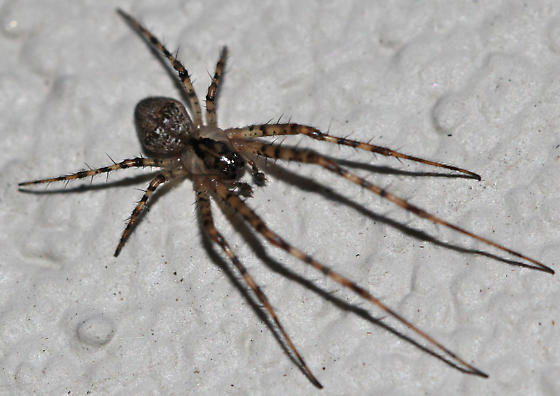 Pirate Spider? - Metellina mimetoides