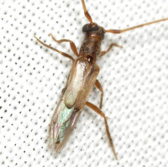 Methia necydalea (Fabricius) - Methia necydalea