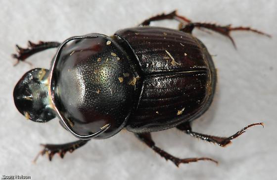 Bull Dung Beetle - Onthophagus taurus - male