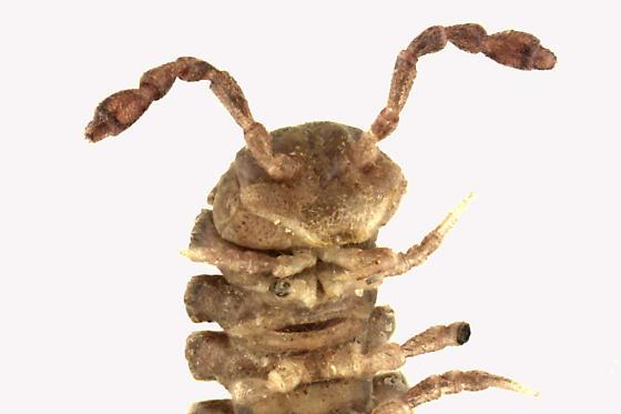 Larva - Polydesmus