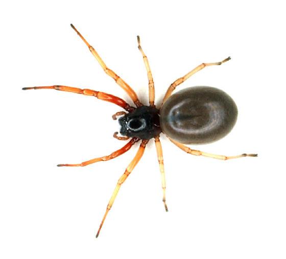 Clubionid - Sac Spider - Trachelas tranquillus - female