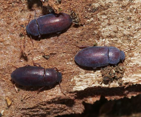 Tenebs under Eucalyptus camaldulensis bark - Metoponium
