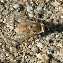 Little Brown Bee Fly