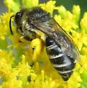 bee 3 - Colletes simulans