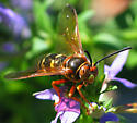 Cicada Killer Wasp - Sphecius speciosus - male