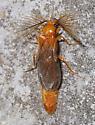 moth - Phengodes