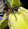 Wasp on Passion Flower - Prionyx