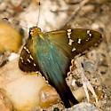 Species Urbanus proteus - Long-tailed Skipper - Urbanus proteus