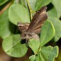 Wild Indigo Duskywing laying eggs - Erynnis baptisiae - female