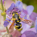 Pseudomasaris vespoides? - Pseudomasaris vespoides - female