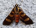Syngamia florella (Red-Waisted Florella Moth) - Syngamia florella