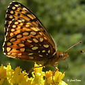 Speyeria-mormonia - Speyeria atlantis - female